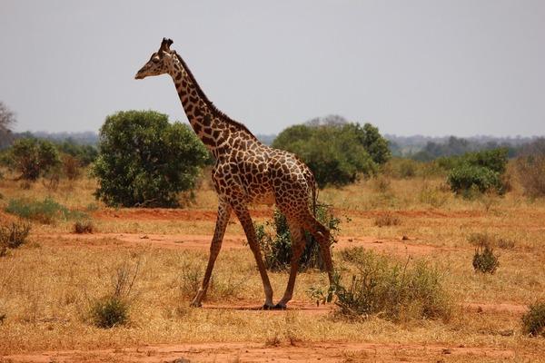giraffe-335922_960_720.jpgのサムネイル画像