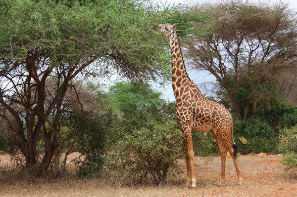 giraffe-331284648985vnhz.jpgのサムネイル画像